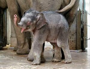 東京・上野動物園で生まれたアジアゾウの子ども=23日(東京動物園協会提供)