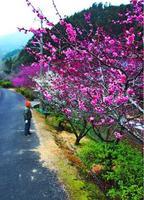 ピンクや白い花を咲かせている明谷地区の梅林=阿南市長生町