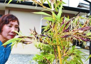 枝から稲穂のように垂れ下がる竹の花=阿波市阿波町四歩一