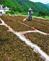 乾燥するために天日干しされた茶葉=那賀町朴野