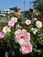 かれんな花を咲かせた藍住町バラ園のバラ=同町矢上