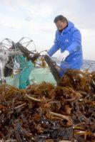 船上に次々とワカメを引き上げる生産者=鳴門市北灘町の粟田漁港沖