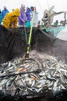 大敷網の中で激しく水しぶきを上げる魚=海陽町沖
