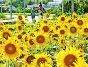 畑一面を黄色に染めるヒマワリ=石井町高原