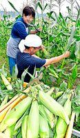 トウモロコシを収穫する三木さん夫妻=阿波市阿波町下喜来