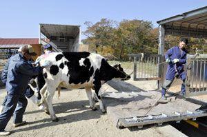 放牧を終え、下山するためトラックに載せられる乳牛=三好市西祖谷山村下名