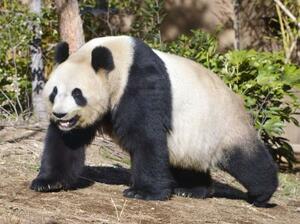 雌のジャイアントパンダ、シンシン(東京動物園協会提供)