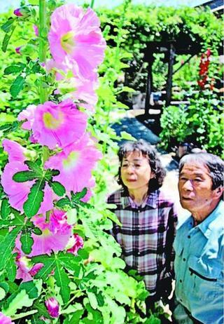 タチアオイ色鮮やか 阿南で咲き始め