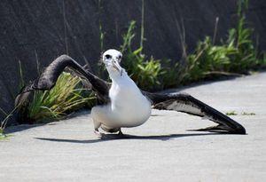 翼を傷め、飛べない状態で見つかったコアホウドリ=8日午前10時半ごろ、松茂町の月見ケ丘海浜公園