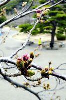 ピンクに色づきながらも、まだ開かない桜のつぼみ=徳島中央公園