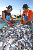 水揚げされたボウゼを選別する漁協職員=徳島市の津田港
