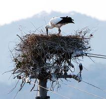 巣で立ち上がるコウノトリの雌=8日午後3時50分ごろ、鳴門市大麻町