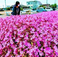 見頃を迎えたフクロナデシコ=小松島市横須町