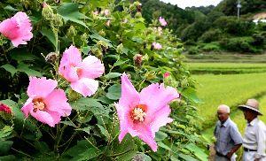 風に揺れるフヨウの花=徳島市八多町
