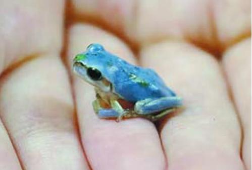 突然変異で青色になったアマガエル