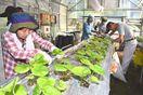 葉っぱビジネス体験 葉わさび収穫や移植 徳島県上勝町