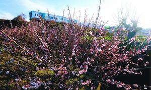 陽気に誘われて甘い香りを周囲に漂わせていた梅並木=吉野川市川島町