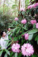 遊歩道沿いに咲き始めたシャクナゲ=神山町上分の岳人の森