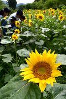 畑を彩る無数のヒマワリに見入る親子連れ=勝浦町三渓の「花々の里」