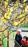 かれんな花を咲かせ始めたロウバイ=神山町上分の神通蝋梅園