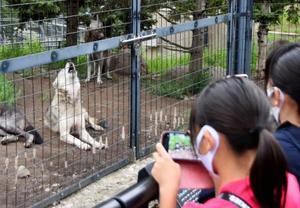 日没が近づき、遠ぼえを始めるオオカミ=10日午後5時2分、北海道旭川市の旭山動物園