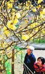 甘くて上品な香り 神山でロウバイ咲く