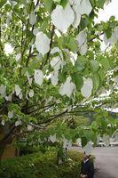 純白の葉が見頃を迎えているハンカチノキ=那賀町横石