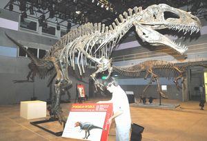 「トクシマ恐竜展」の準備作業をする学芸員=徳島市の県立博物館