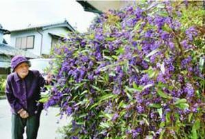 阿波市の民家で咲いたハーデンベルギア