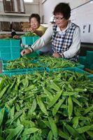 最盛期を迎えたキヌサヤの出荷作業=吉野川市のJA麻植郡川島支所