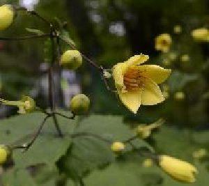 かれんな花を咲かせたキレンゲショウマ=剣山中腹