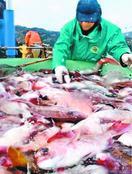 鳴門・北灘沖でサクラダイの定置網漁本格化