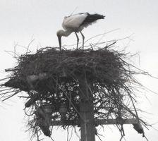 巣の上に立ち餌を吐き出すようなしぐさを見せるコウノトリの雌=鳴門市大麻町
