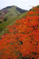 剣山(奥)やジロウギュウの山肌を鮮やかに彩るカエデの紅葉=三好市東祖谷