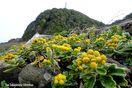 夏日の徳島 シオギク、ヒマワリ咲く