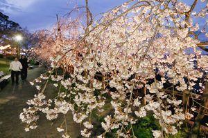 ライトアップされた満開のシダレザクラ=徳島市の西部公園