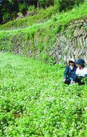 見頃を迎えたソバの花=吉野川市美郷恵美子