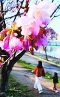暖かい空気に誘われてほころびはじめた蜂須賀桜=徳島市の徳島中央公園