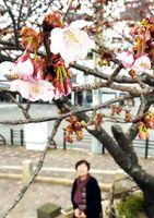 淡いピンクの花が咲き始めたカンザクラ=徳島市の両国橋東公園