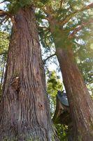海川八幡神社にそびえたつ2本の杉。集落を温かく見守っているようだ=那賀町海川