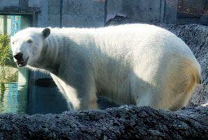 貸与期間が1年間延長されることになったホッキョクグマのポロロ=とくしま動物園(同園提供)