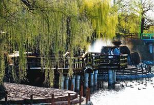 水面近くまで枝を垂らすシダレヤナギ=吉野川市鴨島町