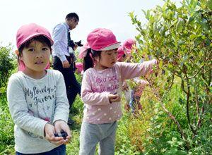ブルーベリーの収穫を楽しむ園児=美馬市脇町北庄の観光ブルーベリー園